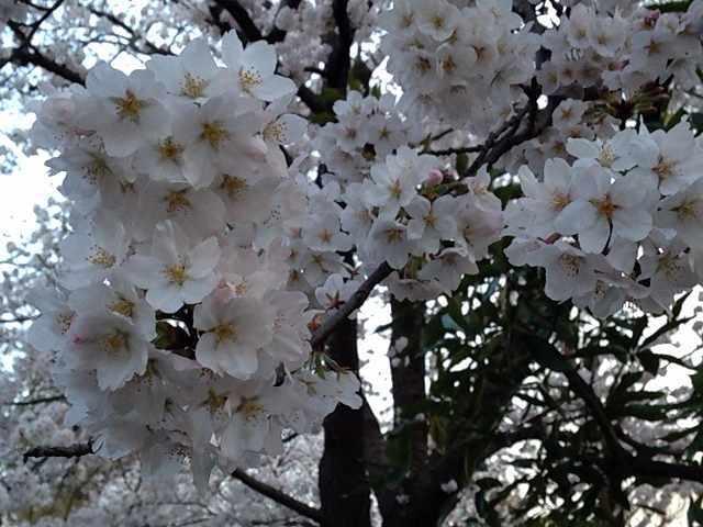 今年の桜3.jpg
