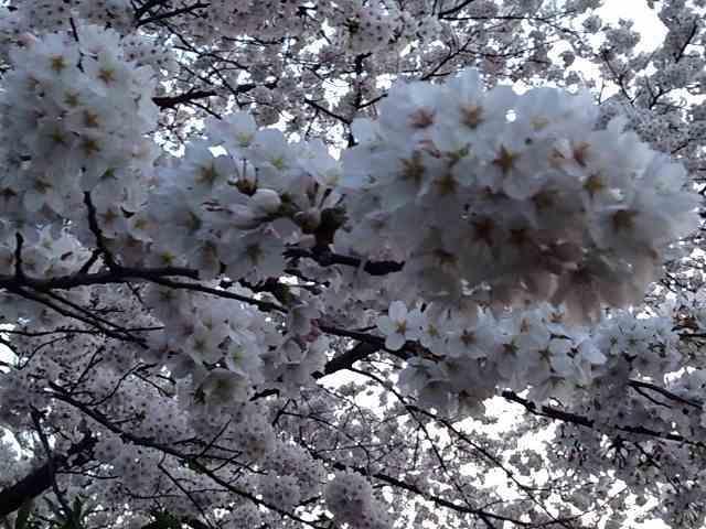 今年の桜4.jpg