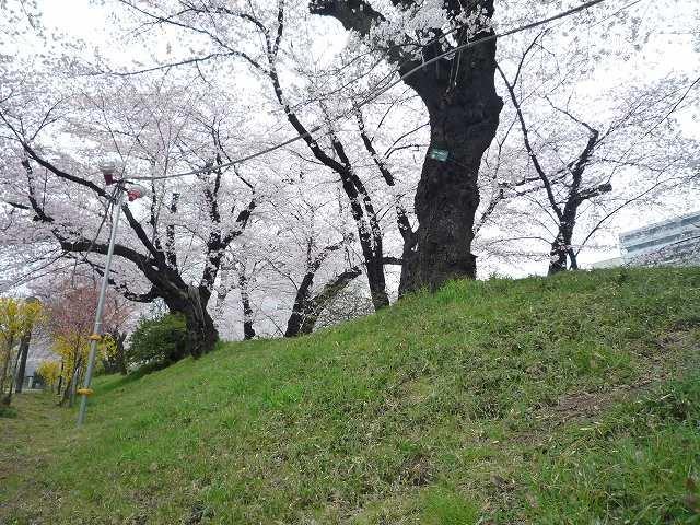 土塁上の桜.jpg